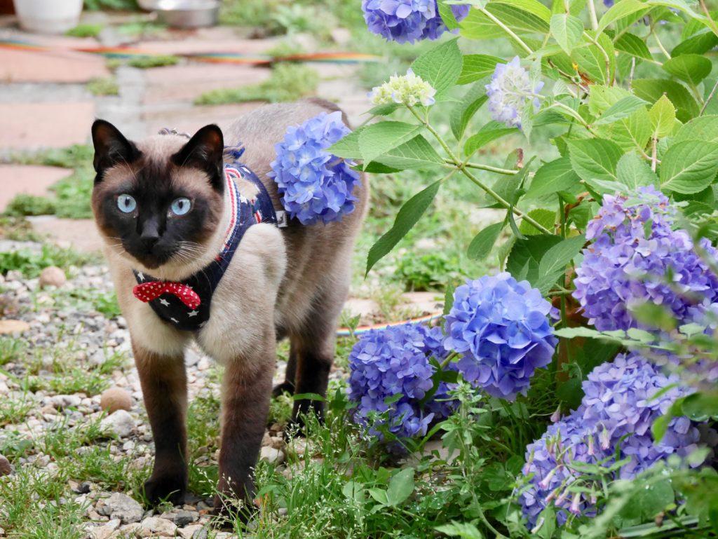 ボブと紫陽花