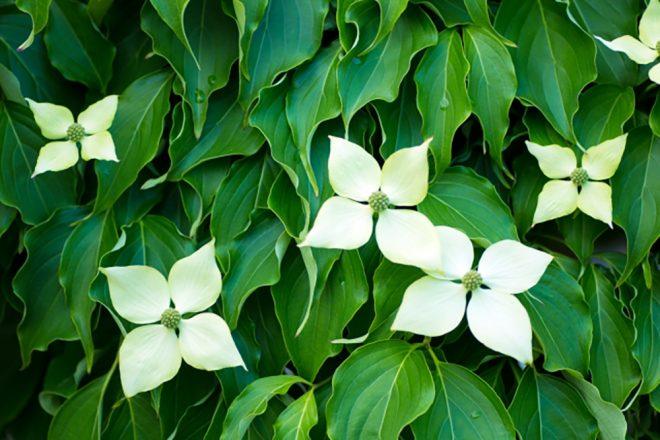 常緑ヤマボウシ 花