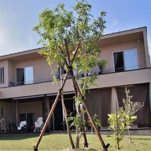 シマトネリコ シンボルツリー