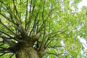 ケヤキ 落葉樹