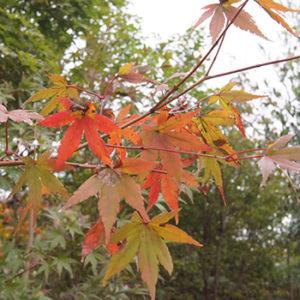落葉樹 モミジ