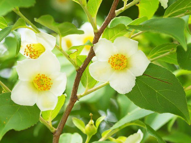 ヒメシャラ 花
