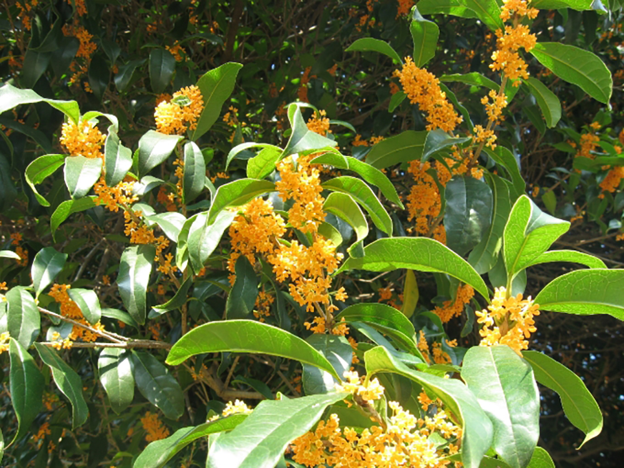 キンモクセイ 花