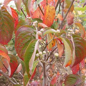 ハナミズキ 紅葉