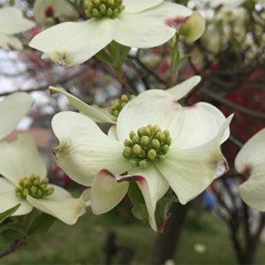ハナミズキ白花