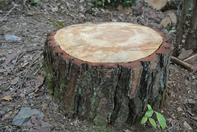 伐採 切り株