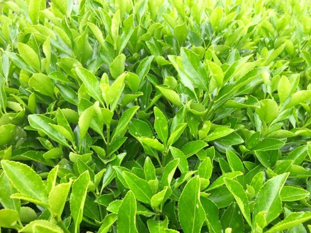マサキ 植木