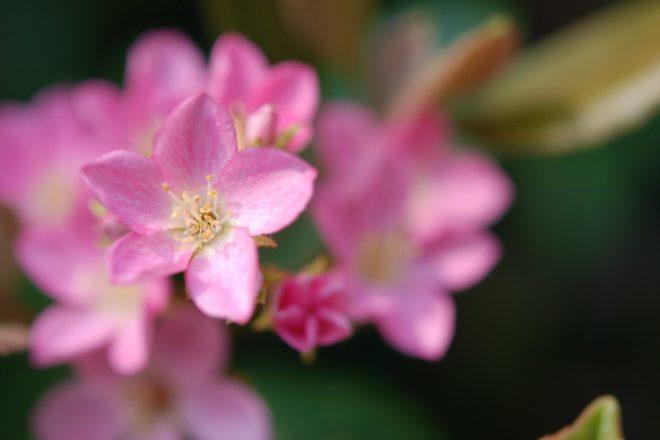 シャリンバイピンクの写真