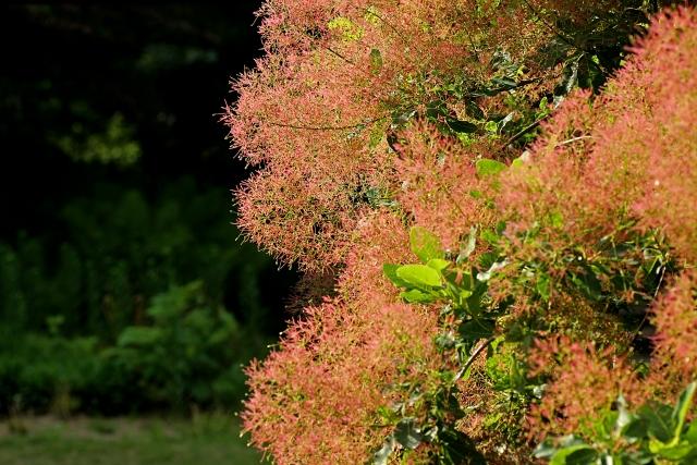 スモークツリーの写真
