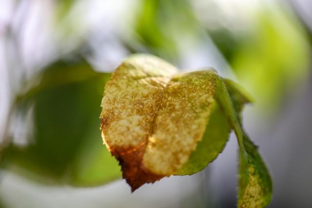 ハダニに食べられて透けて黄変したバラの葉っぱの写真