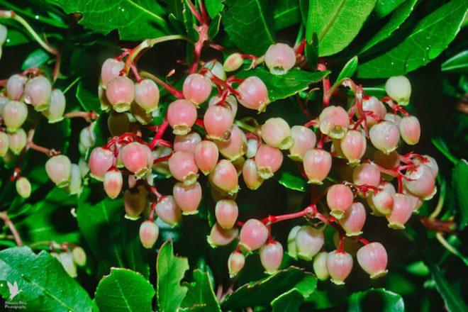 ヒメイチゴノキの写真